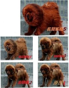 Chinese Mastiff
